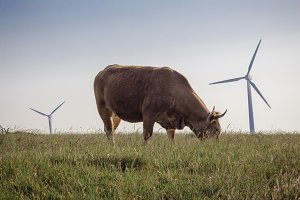 Cows and Wind