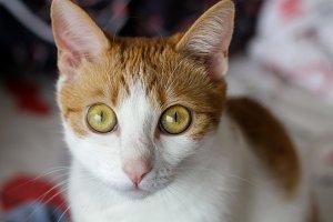 Big Eyes Orange Tabby Cat Close Up