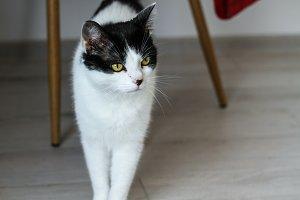 European Black & White Cat curious