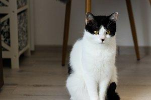 European Black & White Cat serious