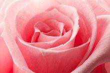 Beautiful close up rose
