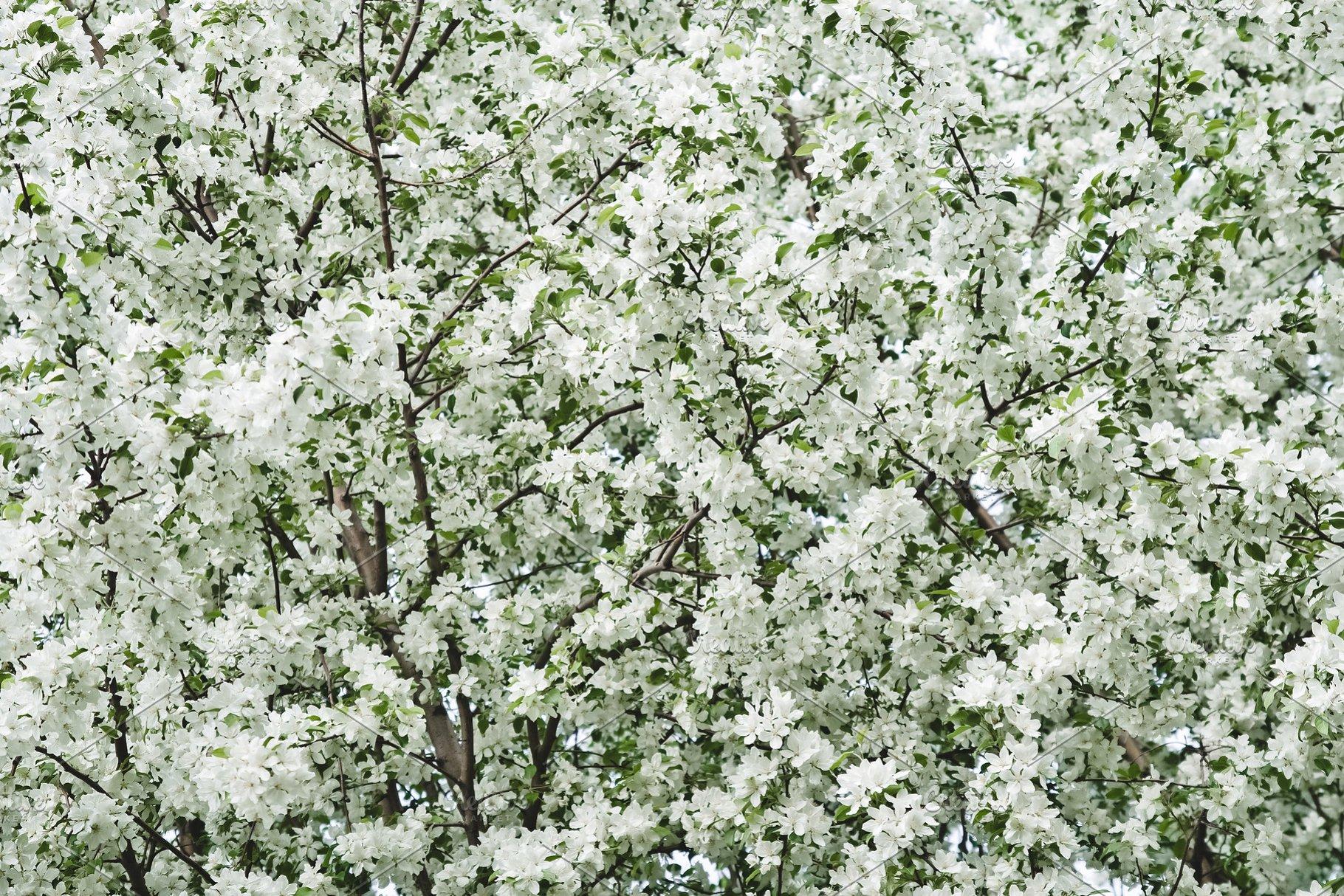White Blossom Of Spring Trees High Quality Nature Stock Photos