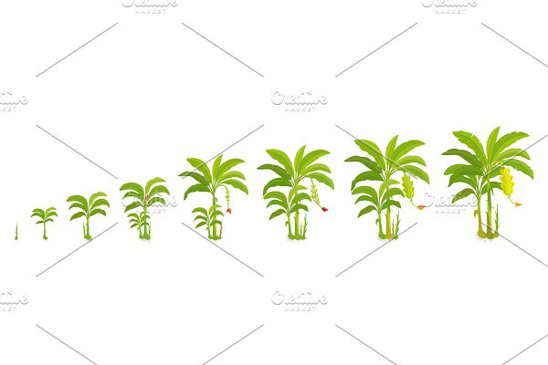 The life cycle crop stages of potato ~ Illustrations ~ Creative Market