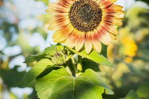 Red sunflower over summer garden