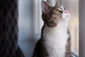 European White & Grey Cat looking up