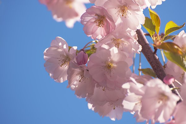 Nature Stock Photos: Nature and travel - Apple tree flower