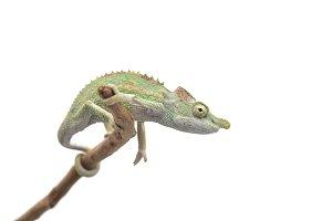 Male Lizard Antimena chameleon
