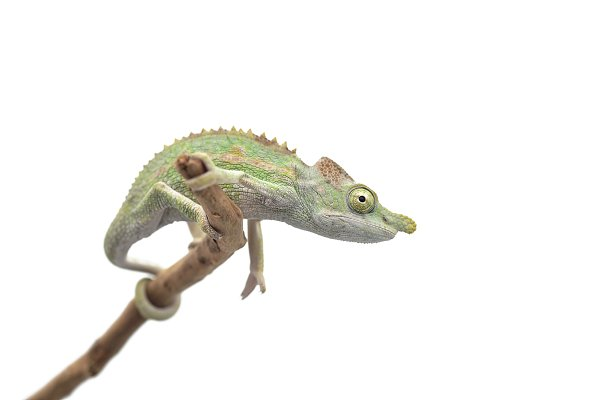 Stock Photos: AnimalArt - Male Lizard Antimena chameleon