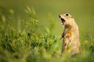 Ground squirrel shouts.