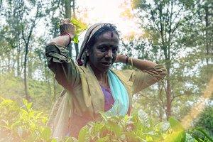 Lankan woman collects tea.