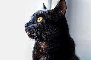 Black cat profile view close up