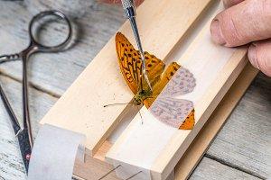 Man spreading butterfly