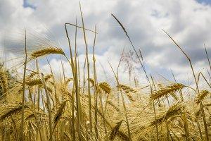bio wheat