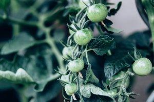 bio tomatoes panicle