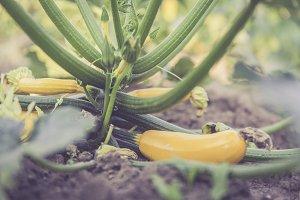fresh bio zucchini