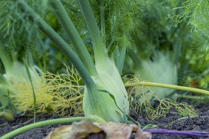 fresh bio fennel