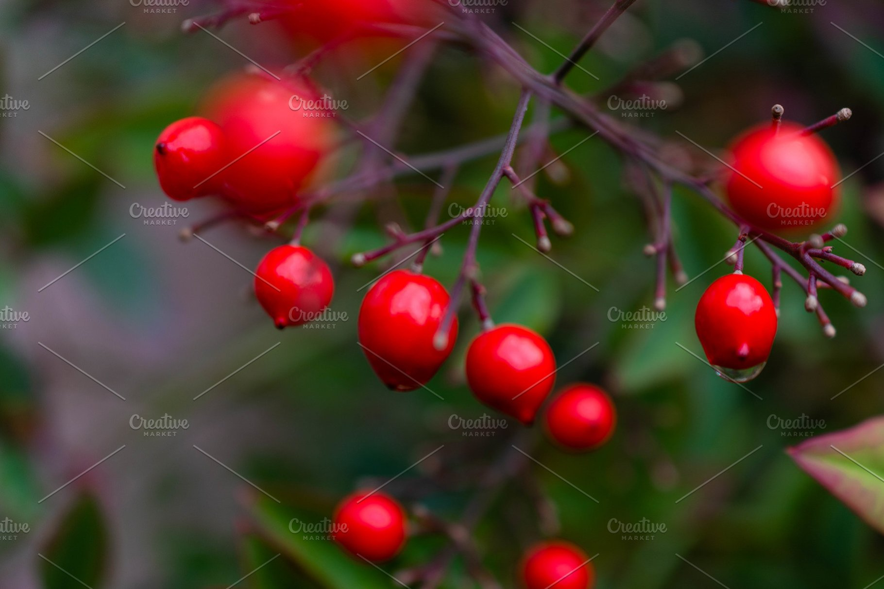 Small Red Berries On Tree High Quality Nature Stock Photos