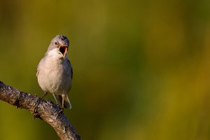 Whitethroat sits on a stick on a bea