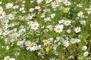 Wild Flower Meadow Daisies