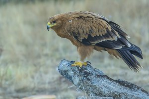 Spanish imperial eagle (junior)