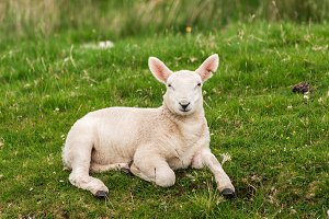 Lamb in the grasslands, Scotland