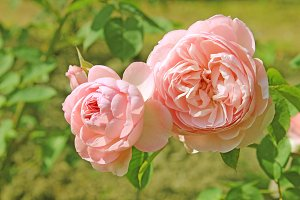 Peach Rose Vintage Style