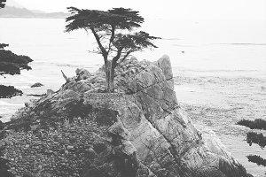 The Lone Cypress II