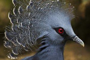Victoria crowned pigeon I