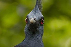 Victoria crowned pigeon II