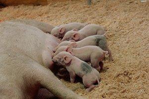 Brand New Piglets
