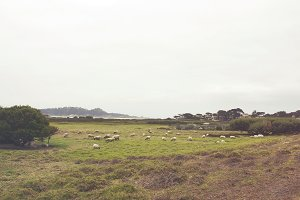 Sheep By The Ocean I