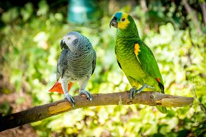 Grey parrot and Blue-fronted amazon
