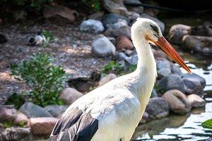 White stork (Ciconia-Ciconia)