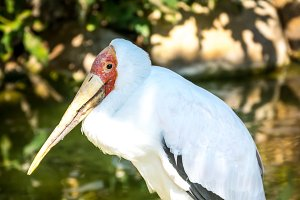 Yellow-billed stork (Mycteria-ibis)