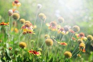 Gaillardia flowers in sunny day