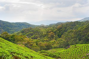 Tea plantation on Sri Lanka