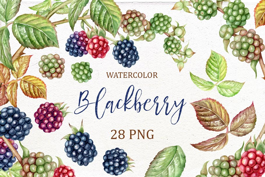 Blackberry watercolor clip art. in Illustrations - product preview 8