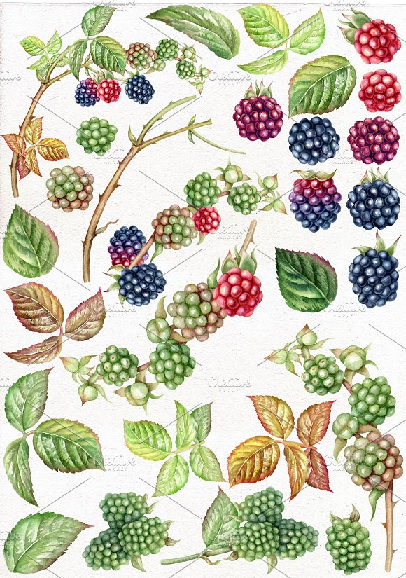 Blackberry watercolor clip art. in Illustrations - product preview 1