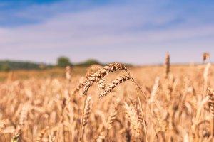 Ears of grain 1