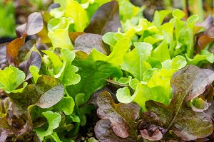 Leafy lettuce greens at the market