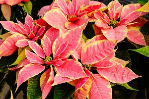 Pink Poinsettia plants for Christmas