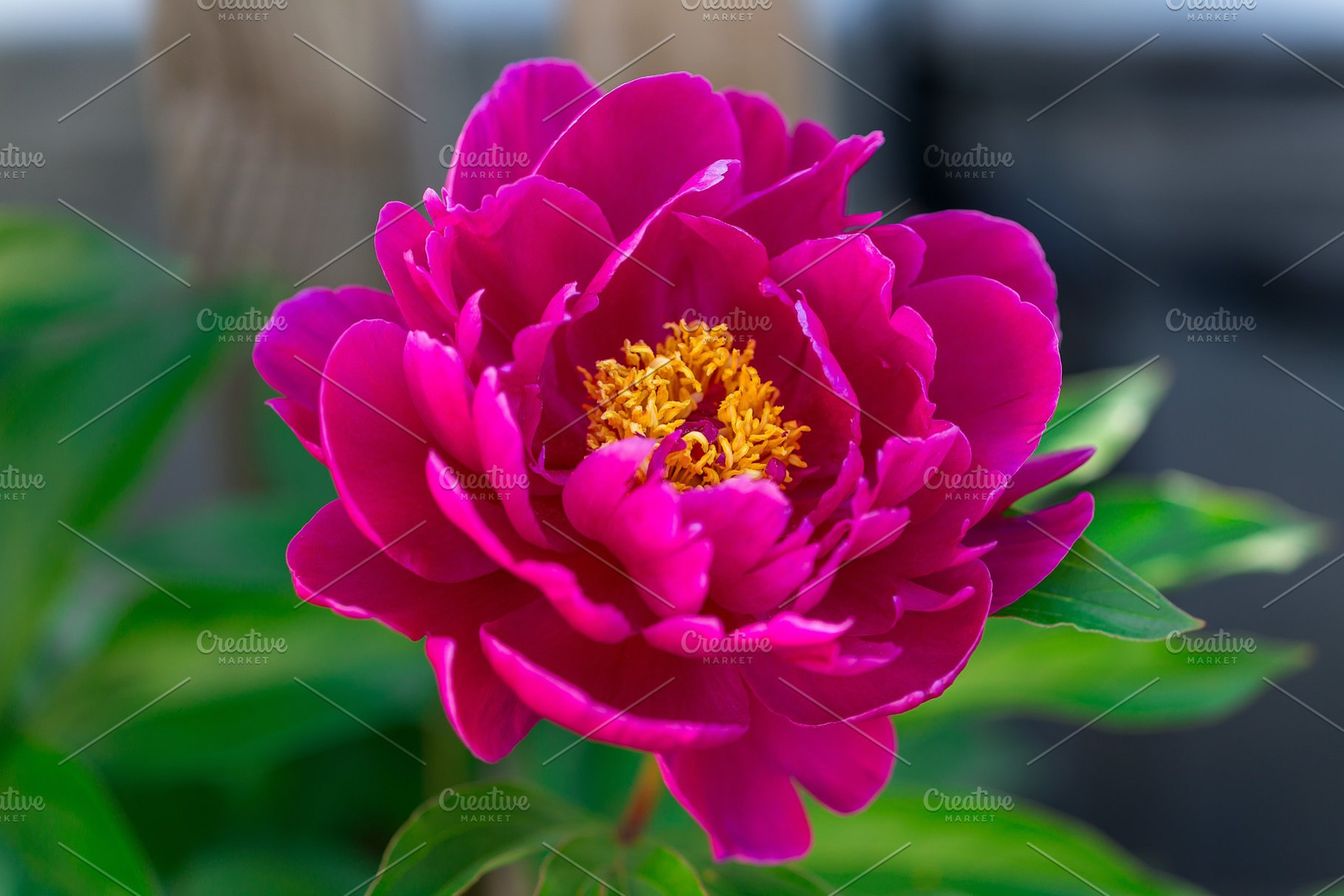 Dark Pink Peony Flower Growing In Th High Quality Nature Stock