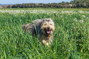 Sheepdog in a meadow (2)