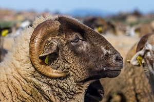 Closeup of a ram (3)