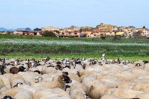 Sheep flock (9)