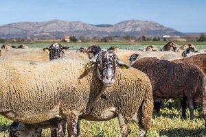 Sheep flock (5)