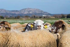 Sheep flock (6)