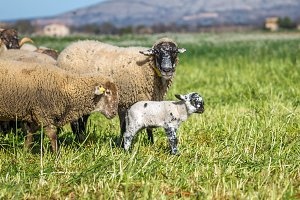 Mother sheep and her lamb (2)
