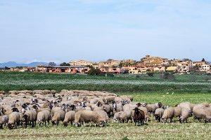 Sheep flock (8)