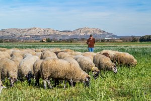 Shepherd and flock of sheep (1)